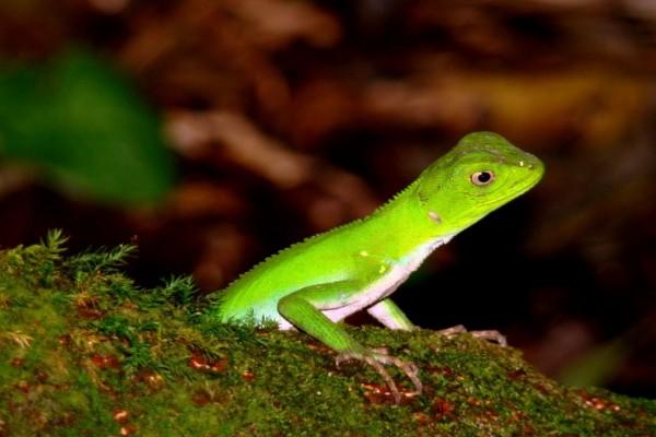 Lagarto de un bonito color verde