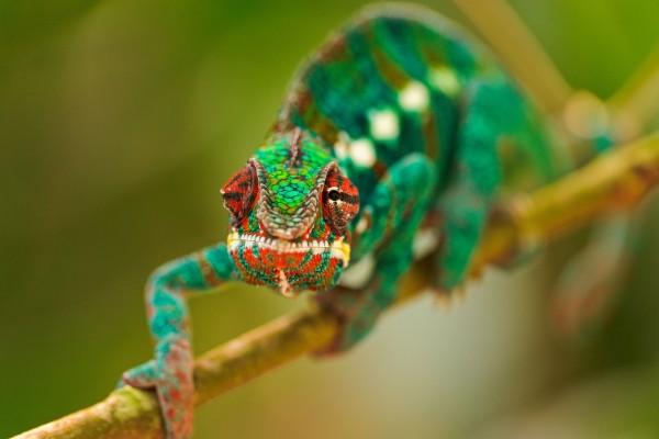 Un camaleón caminando por la rama