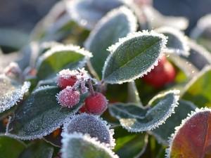 Bayas y hojas con cristales de hielo
