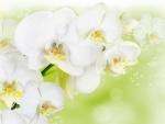 Bellas orquídeas blancas