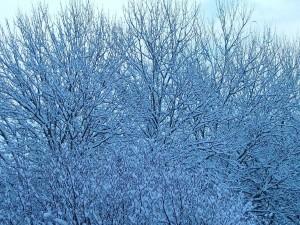 Postal: Ramas con  blanca nieve