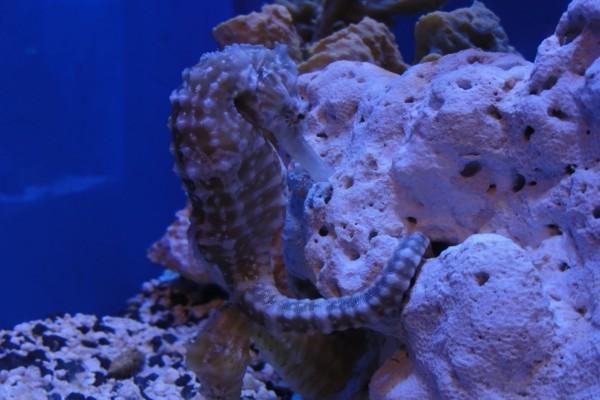 Caballito de mar sujeto a la roca