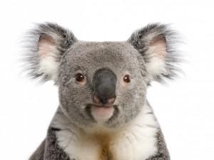 Postal: Cara de un koala