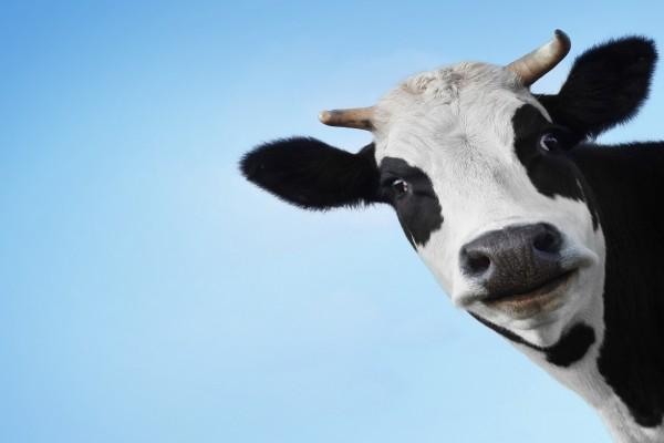 Una vaca te mira
