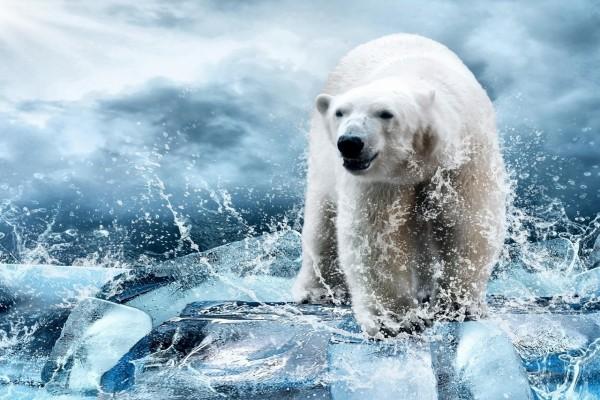 Oso polar caminando entre trozos de hielo