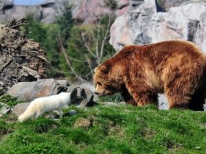 Encuentro entre un oso y un zorro