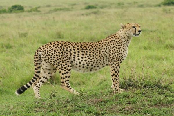 Un guepardo muy atento sobre la hierba