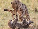 Dos guepardos jugando