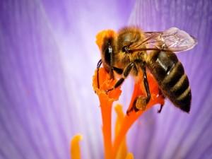 Abeja libando el néctar de una flor
