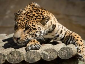 Jaguar descansando sobre troncos de madera