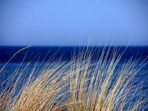 Espigas junto al mar
