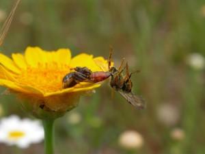 Postal: Araña cazando a una abeja sobre una flor