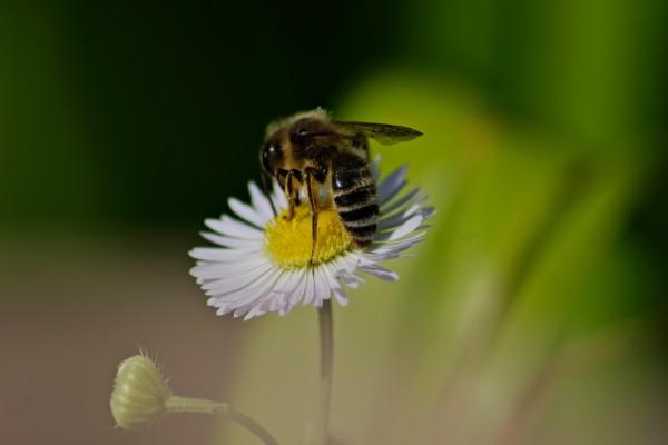 Una abeja recolectando polen en una margarita