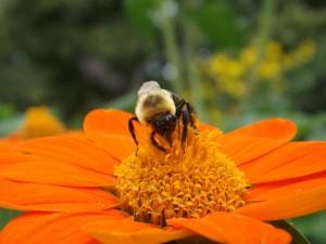 Abeja sobre una gran flor naranja