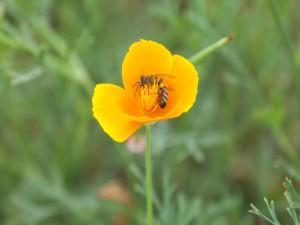 Postal: Amapola de California con una abeja y otro pequeño insecto