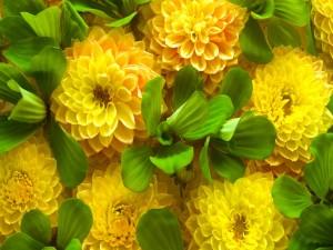 Dalias amarillas y hojas verdes