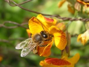 Postal: Flor amarilla con una abeja