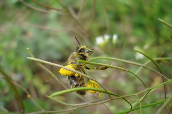 Abeja cubierta de polen