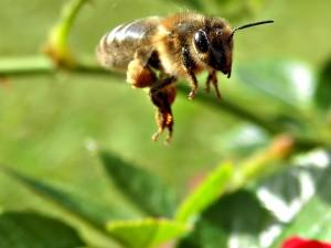 Postal: Polen sobre la abeja