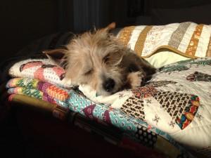 Postal: Perro durmiendo arriba de unas frazadas