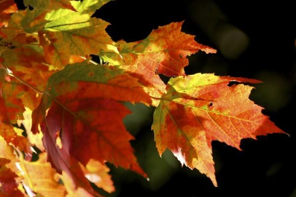 Hojas en otoño colgando de un árbol