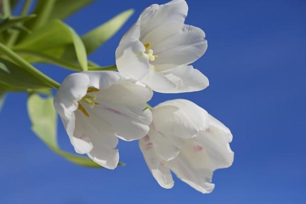 Tulipanes blancos en un fondo azul