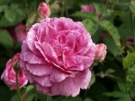 Una espléndida rosa y pequeños pimpollos