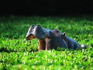 Postal: Un gran hipopótamo entre las plantas