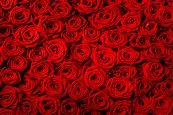 Muchas rosas rojas