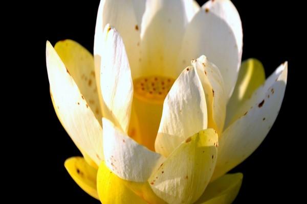 Delicado loto sagrado con pétalos blancos y amarillos