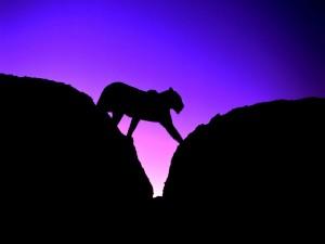 Silueta de un puma entre las rocas