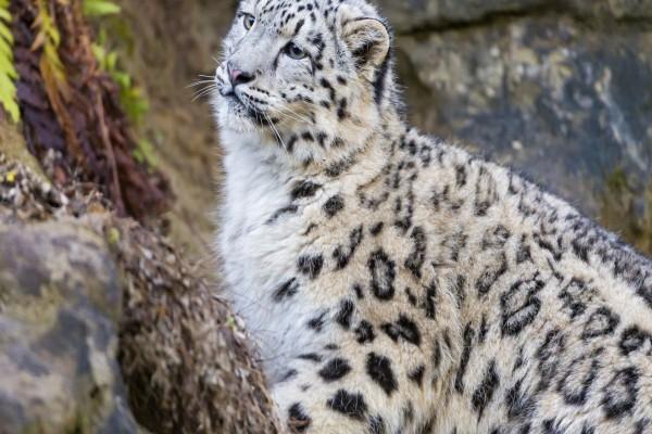 Perfil de un leopardo de las nieves