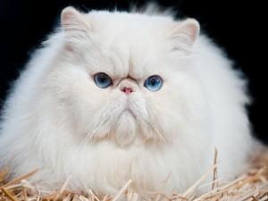 Postal: Mirada atrapante de un gato blanco