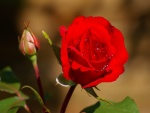 Un pimpollo y una rosa roja