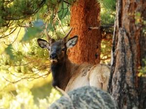 Un ciervo entre los árboles