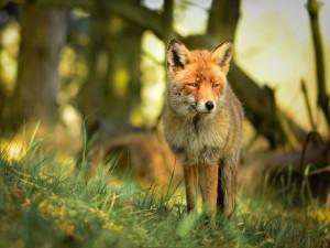 Un zorro quieto sobre la hierba