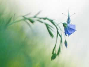 Postal: Mariposa sobre una flor de lino