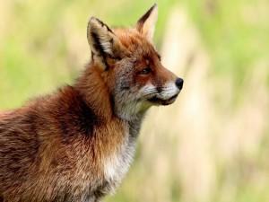 Postal: Perfil de un zorro