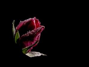 Postal: Pimpollo de rosa roja congelado
