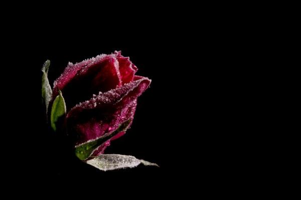 Pimpollo de rosa roja congelado