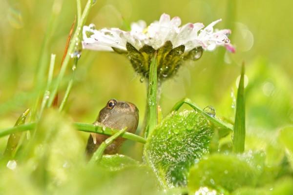 Renacuajo debajo de una flor