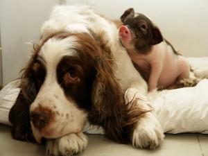 Postal: Amistad entre un perro y un cerdo