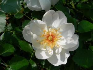 Postal: Una preciosa flor blanca con estambres amarillos