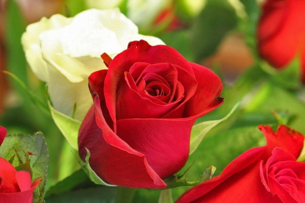Related keywords suggestions for hermosas rosas - Rosas rosas hermosas ...