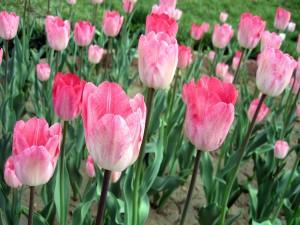 Bellos tulipanes creciendo en la tierra