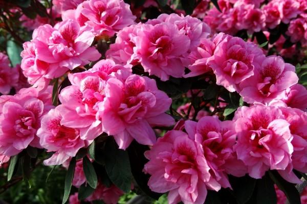 Hermosas flores de color rosa en la planta