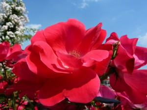Una hermosura de rosas en el jardín