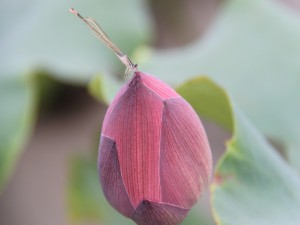 Postal: Libélula sobre un loto cerrado