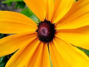 Flor con largos pétalos amarillos y centro oscuro