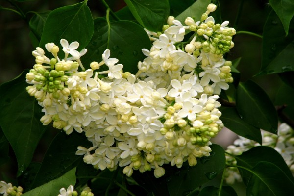 Pequeñas flores blancas en una planta